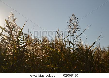 This is a photo of the Cane flower background horizontal
