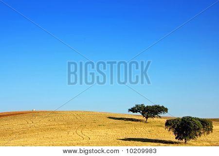 Oak Trees At Alentejo Field.