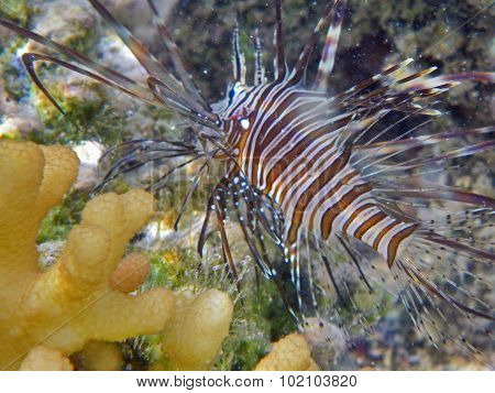 Following A Lionfish
