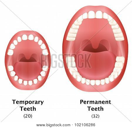 Permanent Temporary Teeth Adult Child Compare