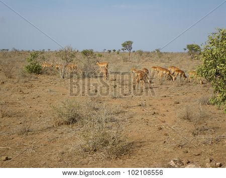 Young Gazelles At Lunch