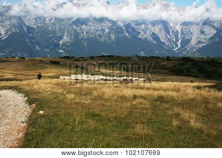 Sheperd Control The Flock Grazing Over The Brenta