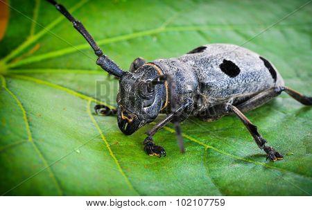 Beetle - Morimus Funereus