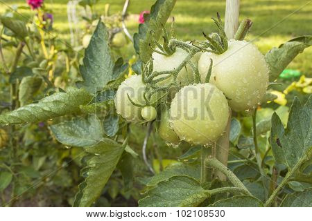 Growing tomatoes on a domestic garden. Wet tomatoes in the morning sun. Overnight rain.