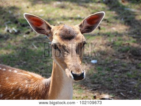 Female Fallow Deer Head With Lifted Ears
