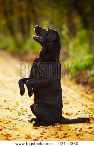 Labrador Sitting On Its Hind Legs