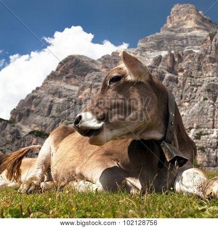 Cow Near Monte Pelmo, Dolomites, Italy
