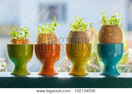 four color egg cups with growing green cress