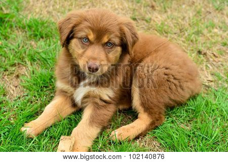 Red Tri Color Australian Shepherd Aussie Puppy