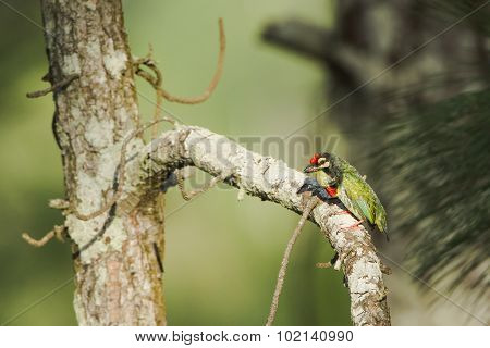 Coppersmith Barbet In Ella, Sri Lanka