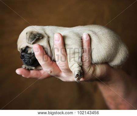 baby pug chug mix puppy being held in the hand of a person on a brown background