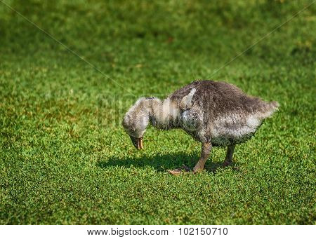 Little Gosling Looking for Food in the Grass