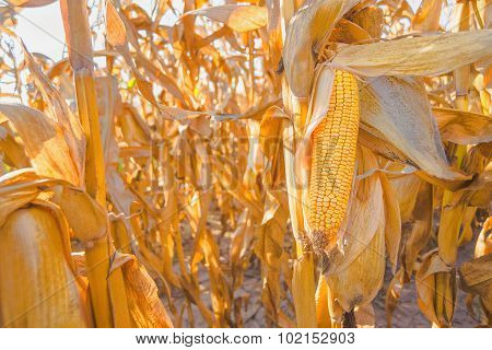 Ripe Corn On Stalk In Maize Field