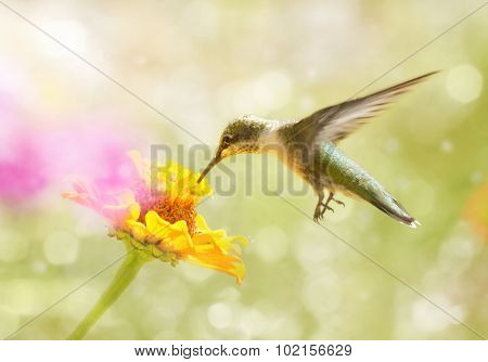Dreamy image of a juvenile male Ruby-throated Hummingbird feeding on an orange Zinnia flower
