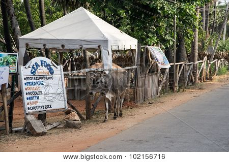 A Cow On The Street Of Sri Lanka