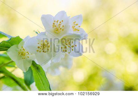 Blooming Jasmine Bush, Close-up