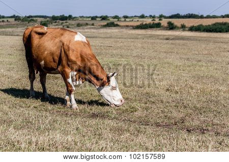 Cow On Summer Pasture In The Fields