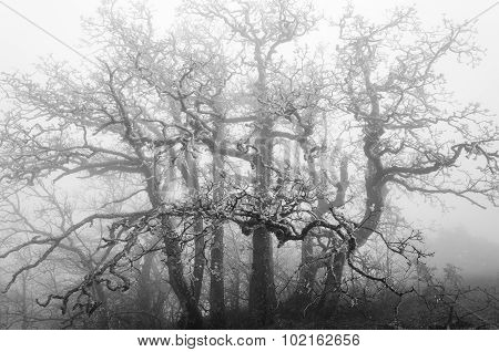 Icy Old Tree On A Foggy Day