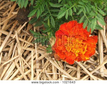 Orange Autumn Mum