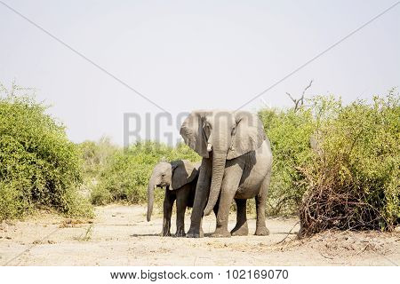 Two Elephants in the Dry Heat