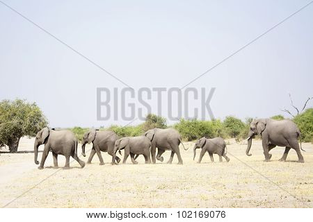 Elephant Herd Walking Past