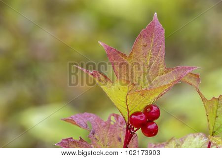 Highbush Cranberry Leaf And Berries In Fall