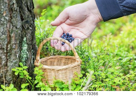 Man picking blueberries in forest