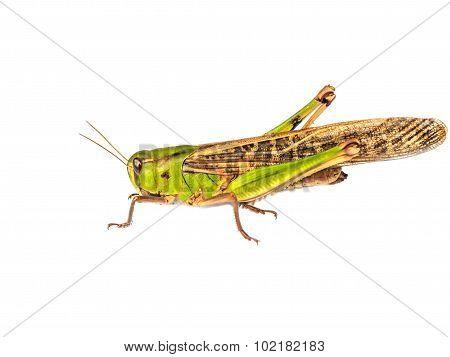Locust Pest