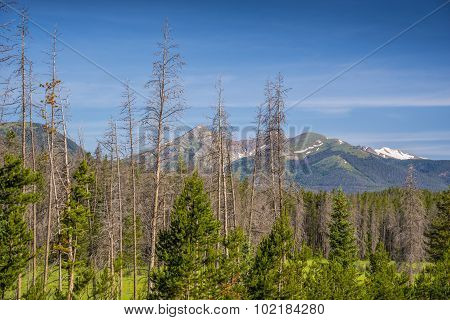Dead pine trees in the Rockies