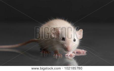 Baby Rat Closeup