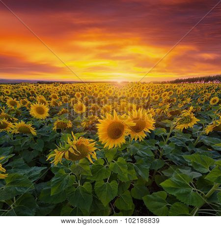 Big Field With Sunflowers Against A Bright Sunset