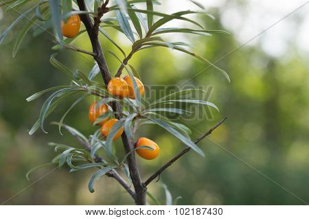 Sea Buckthorn Berries In A Tree