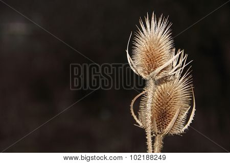 Two Dry Prickles On Stalks