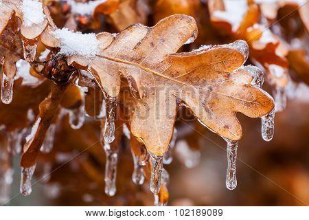 Frozen Oak Leaves