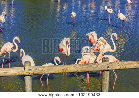 Pack of pink charming flamingos in the shallow lake. Sunset in national park of Kamarg. Delta of Rhone, Provence, France