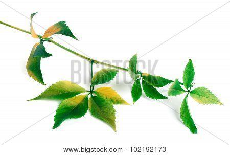 Multicolor Grapes Leaves