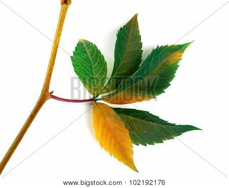 Multicolor Autumn Twig Of Grapes Leaves