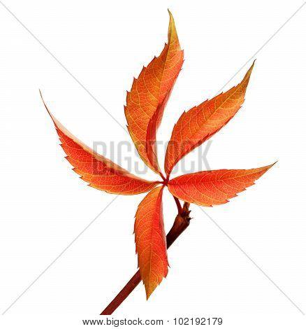 Orange Autumnal Grapes Leaf (parthenocissus Quinquefolia Foliage)