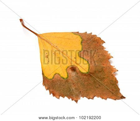 Dried Yellowed Autumn Leaf Of Birch
