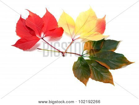 Three Multicolor Leafs (virginia Creeper Leaves)