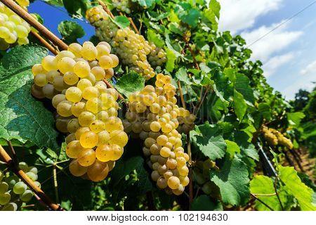 Muscat Grape Bunch On The Sun