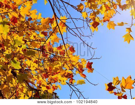 Autumn Maple With Yellow Leaves In Park