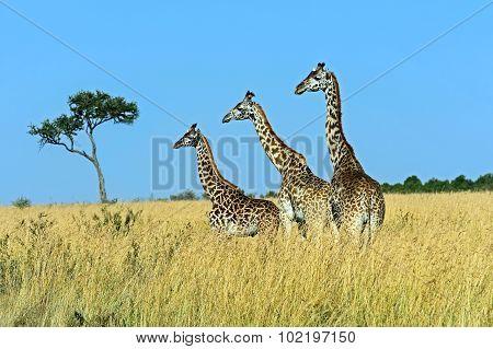 Giraffe Masai Mara