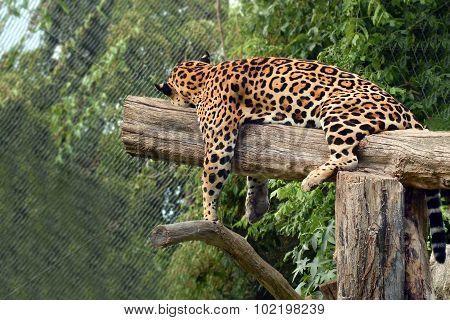 Leopard Tree Sleeping