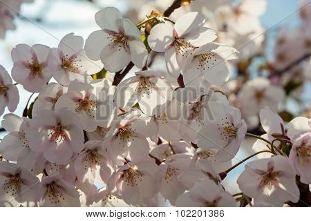 Sakura Cherry Trees