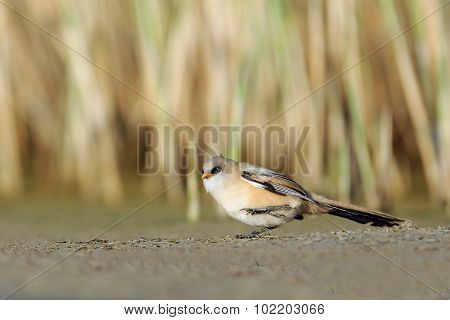 Young Bearded Reedling Walking Near The Reeds