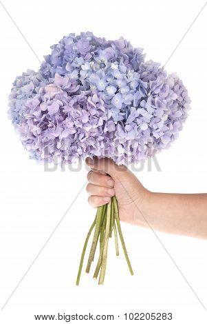 Purple Flower Hydrangea In Hand (clipping Path)