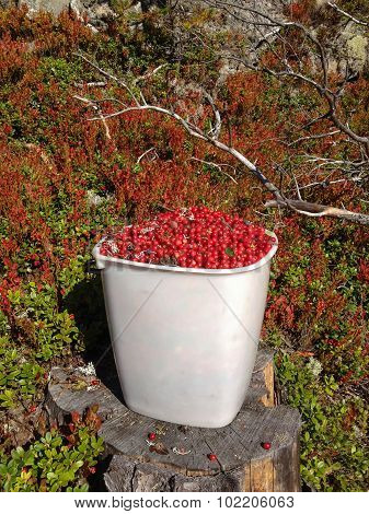 Lingonberry Bucket In The Forest