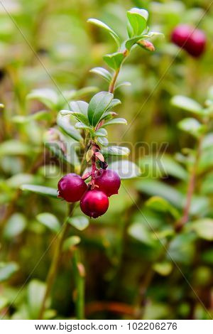 Lingonberry Close-up
