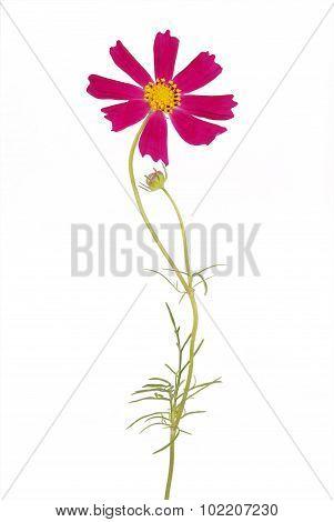 Purple Flower Kosmeya